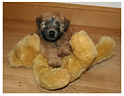 wheaten puppy